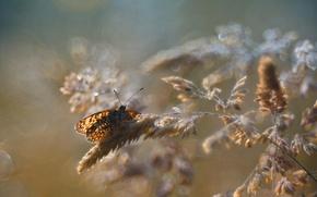 Обои макро, блики, бабочка, колоски, насекомое, боке
