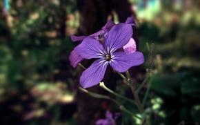 Картинка цветок, макро, синий, голубой, полевой