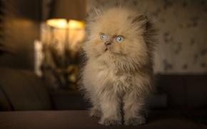 Картинка пушистый, рыжий, котёнок, голубые глаза, рыжий котёнок