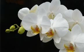 Обои белый, ветка, орхидея