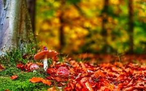 Картинка лес, трава, листья, деревья, грибы, мухомор