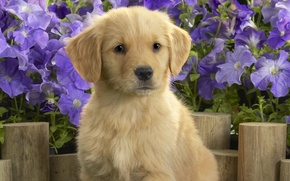 Картинка цветы, щенок, лабладор