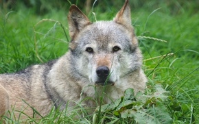 Картинка взгляд, фон, волк, хищник
