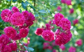 Обои розовый, куст, розы