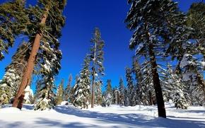 Обои деревья, ель, снег, лес, зима