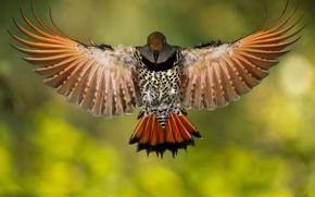 Картинка птица, крылья, Золотой шилоклювый дятeл