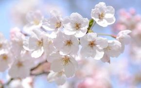 Картинка макро, вишня, нежность, весна, сакура