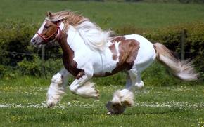 Картинка поле, животные, трава, природа, животное, конь, лошадь, жеребец, кони, лошади, пастбище, грива, скачет, красивые, жеребцы, ...