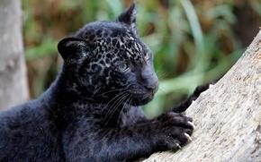 Картинка хищник, когти, ягуар, детеныш, Panthera onca