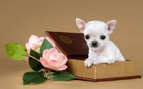 Картинка цветы, коробка, милый, щенок, чихуахуа