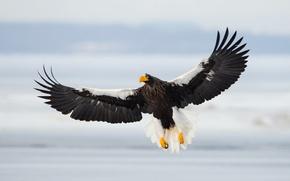 Обои Sea Eagle, полёт, птица