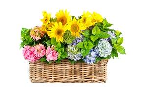 Обои листья, подсолнухи, корзина, желтые, гортензия, белый фон, цветы