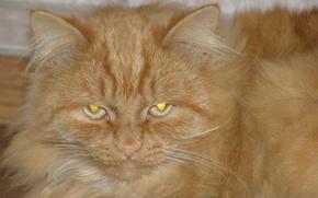 Картинка животные, обои, коты