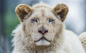 Картинка кошка, ©Tambako The Jaguar, морда, белый лев, львёнок