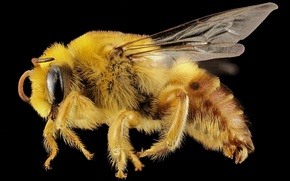 Картинка глаза, макро, природа, пчела, крылья, волоски, профиль, насекомое