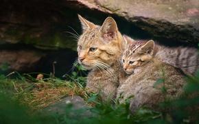 Обои котёнок, материнство, дикая кошка, wildcat