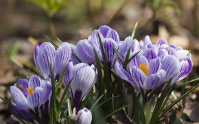 Обои крокусы, лепестки, весна