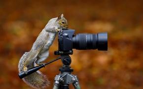 Картинка белка, фотокамера, Wild Grey Squirrel