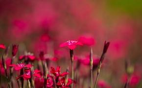 Картинка поле, природа, лепестки, сад, луг, китайская гвоздика