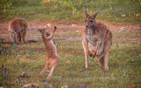 Картинка природа, Австралия, кенгуру