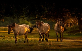 Картинка трава, деревья, тень, Лошади, прогулка, солнечные просветы