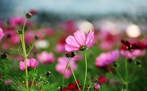 Картинка лето, трава, макро, цветы, поляна, яркие, растения, лепестки, розовые, космея