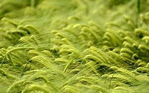 Картинка пшеница, поле, макро, колоски