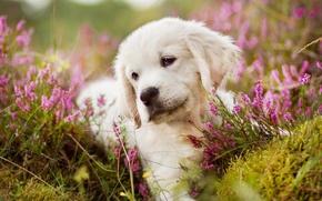 Картинка белый, цветы, портрет, собака, луг, щенок, лежит, золотистый, ретривер