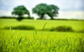 Картинка green, trees, bokeh, wheat, countryside, farm, wheat field, farmland, wheat ear
