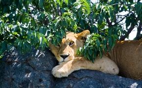 Картинка кошка, взгляд, ветви, камень, львица