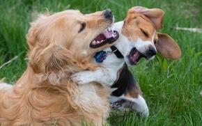 Картинка собаки, радость, настроение, игра, друзья, бигль