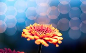 Обои цветы, цветочек, цветок, размытие