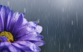 Обои цветок, капли, дождь, сиреневый, астра