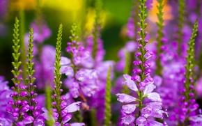 Картинка цветы, стебли, бутоны, полевые, много, сиреневые, larkspur, дельфиниум, шпорник, живокость