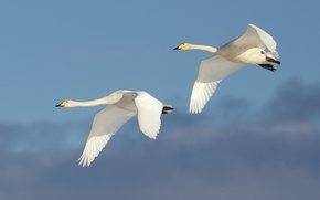 Картинка flight, couple, swans
