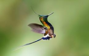 Обои птица, полёт, колибри, взлёт