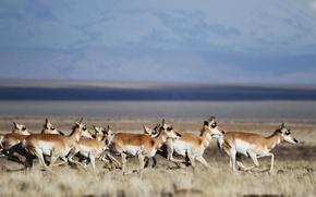 Картинка field, wildlife, herd, running, pronghorn
