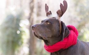 Картинка взгляд, морда, красный, природа, фон, новый год, портрет, собака, шарф, рога, украшение, ушки, нежные тона, …