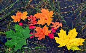 Картинка осень, листья, вода, цвет, клен