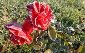 Картинка иней, осень, розы, красота