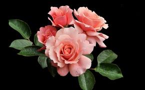 Обои розы, бутоны, чёрный фон