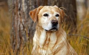 Картинка осень, трава, собака, пес, лабрадор, охотник