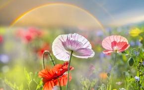 Обои поле, лето, солнце, макро, блики, маки, боке, крупным планом