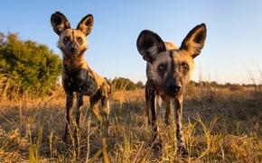 Обои собака, взгляд, Африка, хищник, Гиеновидная