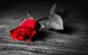 Картинка листья, цветы, одиночество, фон, черно-белый, обои, роза, лепестки, листочек, красная, тоска, широкоформатные, полноэкранные, HD wallpapers, …