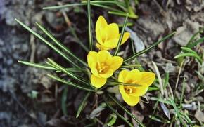 Картинка цветок, желтый, растение, весна