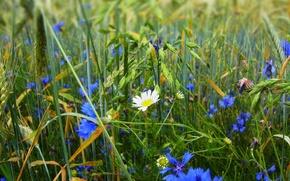Картинка поле, трава, цветы, ромашка, луг