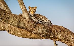 Картинка Leopard, Africa, Kenya, Masai Mara, Musiara Marsh