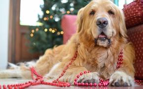 Картинка собака, бусы, золотистый ретривер, голден ретривер