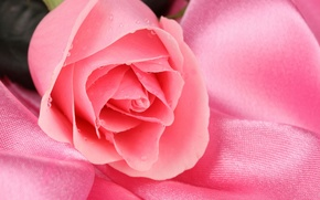 Обои цветок, капли, роса, розовый, роза